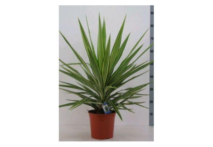 Yucca Jewel D20cm