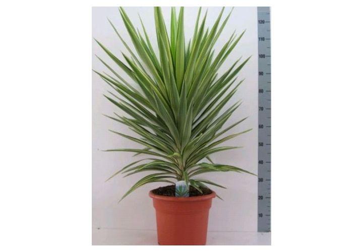 Yucca Jewel D30cm