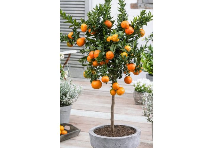 Mandarinier pot D20cm