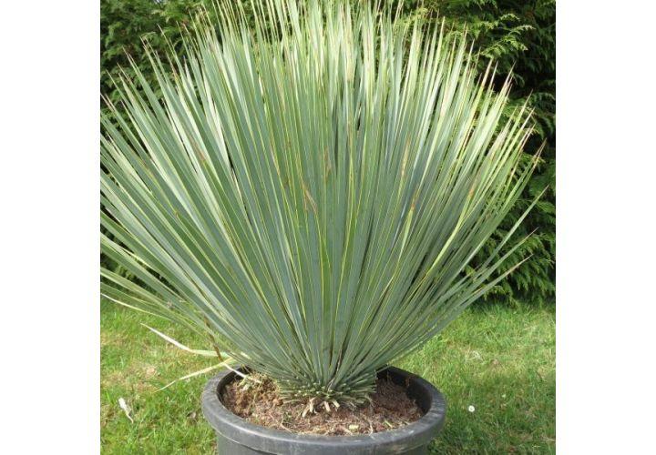 Yucca rostrata production Drome pot 5l