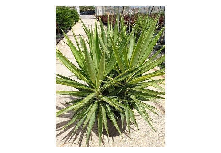 Yucca Jewel ramifié 3 tronc pot 30l