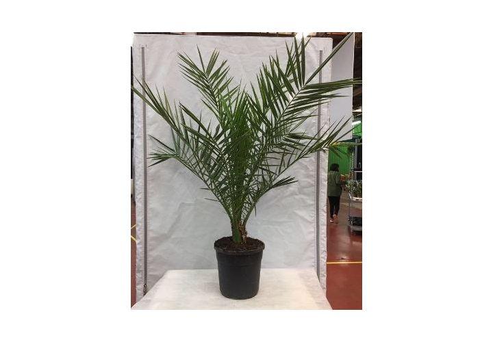 Palmier des canaries (Phoenix) pot 28cm