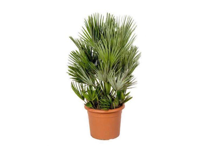 Palmier Chamaerops tronc 15/20cm pot 14l