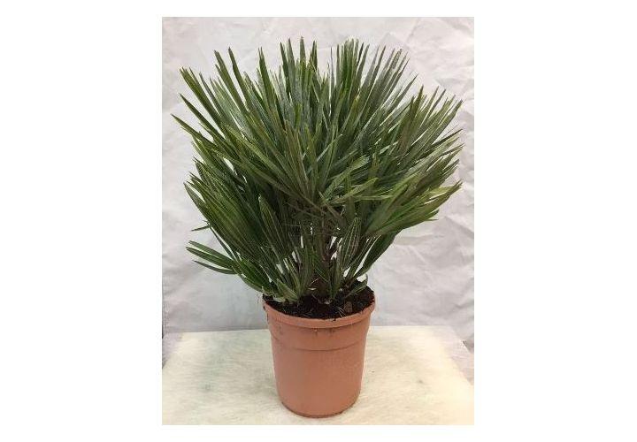 Palmier méditerranéen Humilis pot D20cm