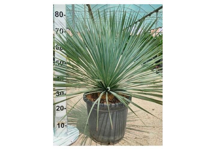 Yucca rostrata pot 12l