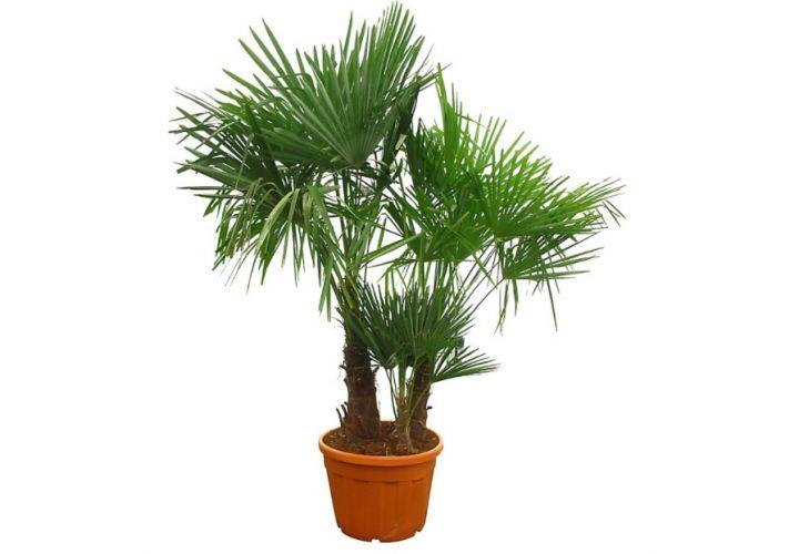 Palmier Chamaerops multi troncs pot 15l