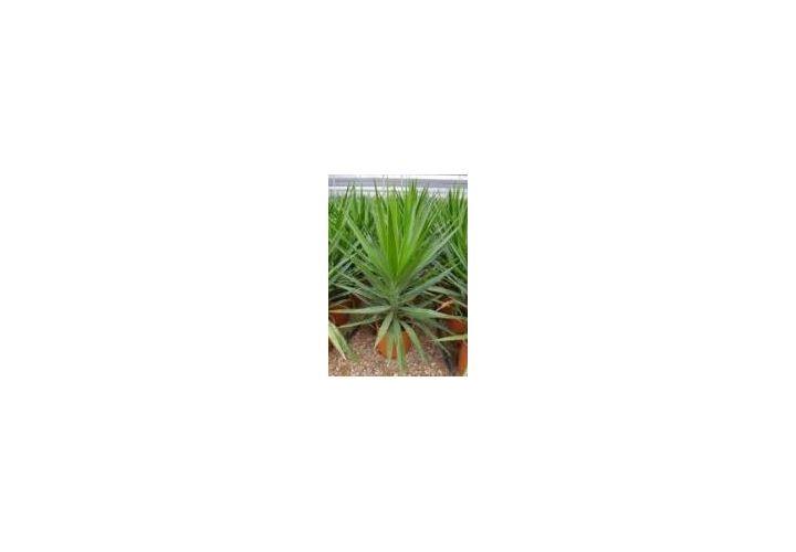 Yucca Elephantipes pot 10L