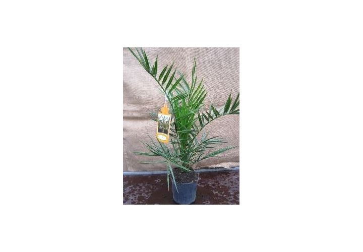 Palmier des canaries (Phoenix) pot 14cm