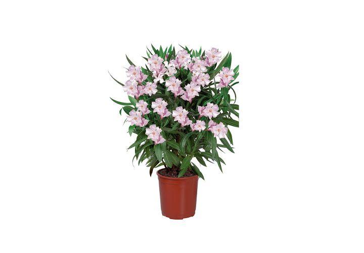 Laurier rose coloris varies D25xH90cm