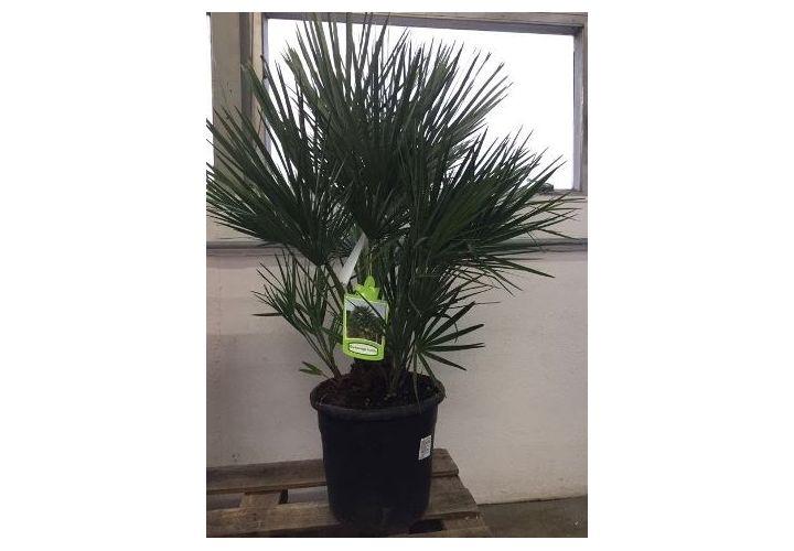 Palmier méditerranéen Humilis pot D28cm