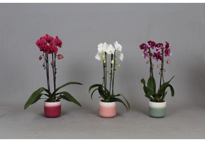Phalaenopsis Cascade 2 tiges + cache pot