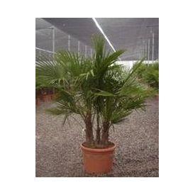 Palmier Chamaerops multi troncs pot 45l