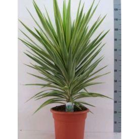Yucca Jewel D25cm
