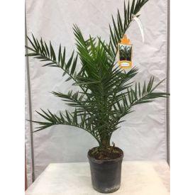 Palmier des canaries (Phoenix) pot 22cm