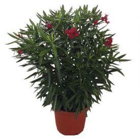 Laurier rose coloris varies D30xH100cm