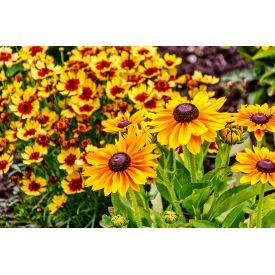 Vivaces fleuries de saison pot de 2L