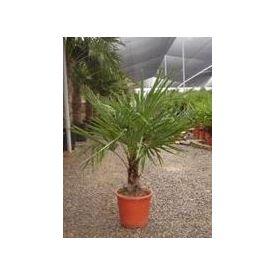 Palmier Chamaerops tronc 10/15cm pot 12l