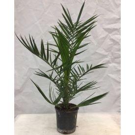 Palmier des canaries (Phoenix) pot 18cm