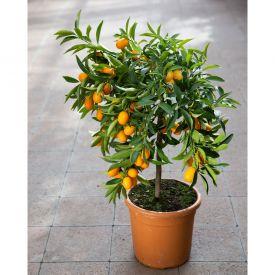 Kumquat D20cm H80/90cm